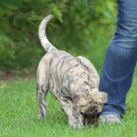 Presa Canario Puppy for sale