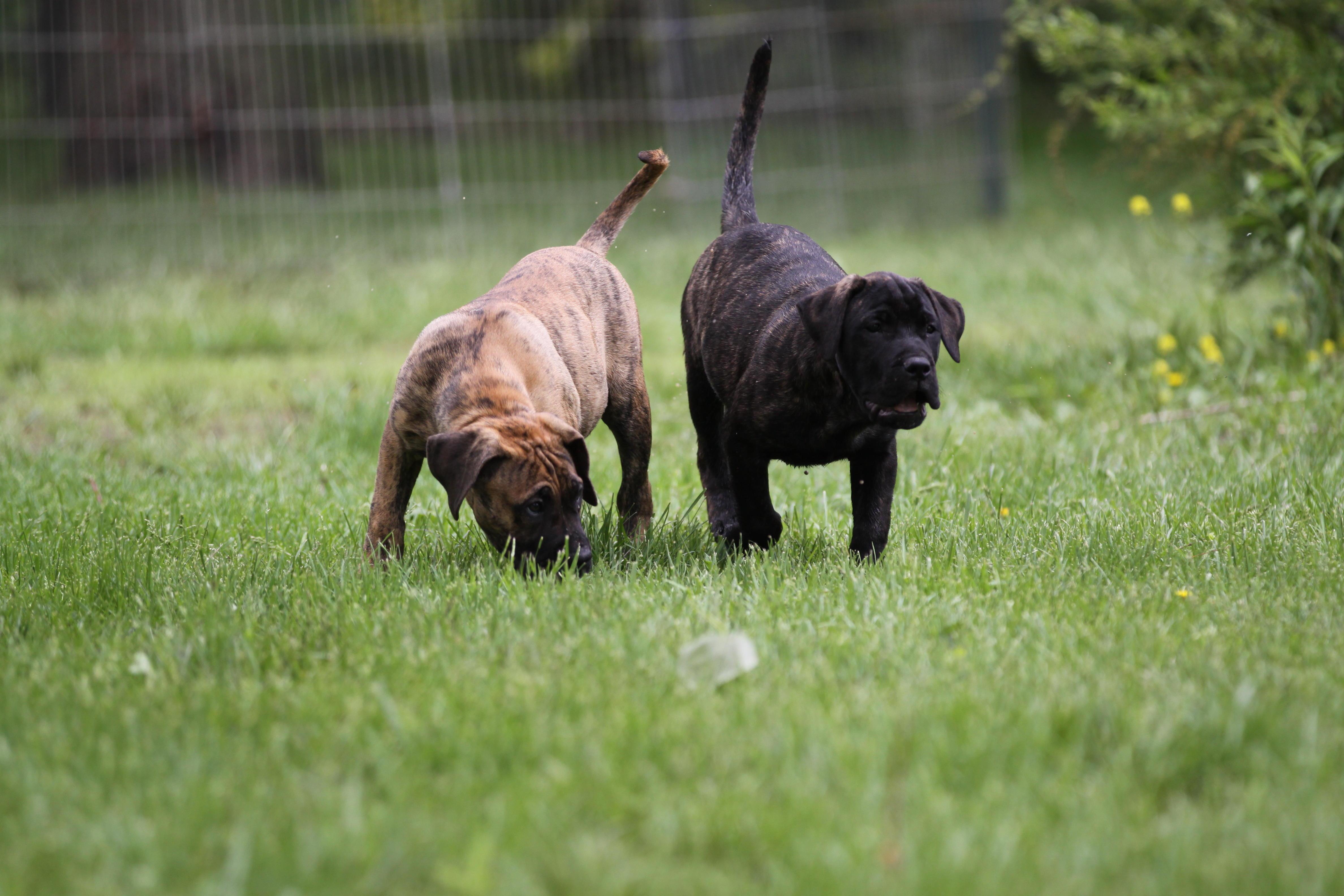 Cabeza Grande Kennel Presa Canario Breeders Presa
